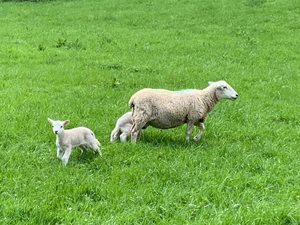 Castle Combe to Ford walk sheep walking in field on bch walking guide